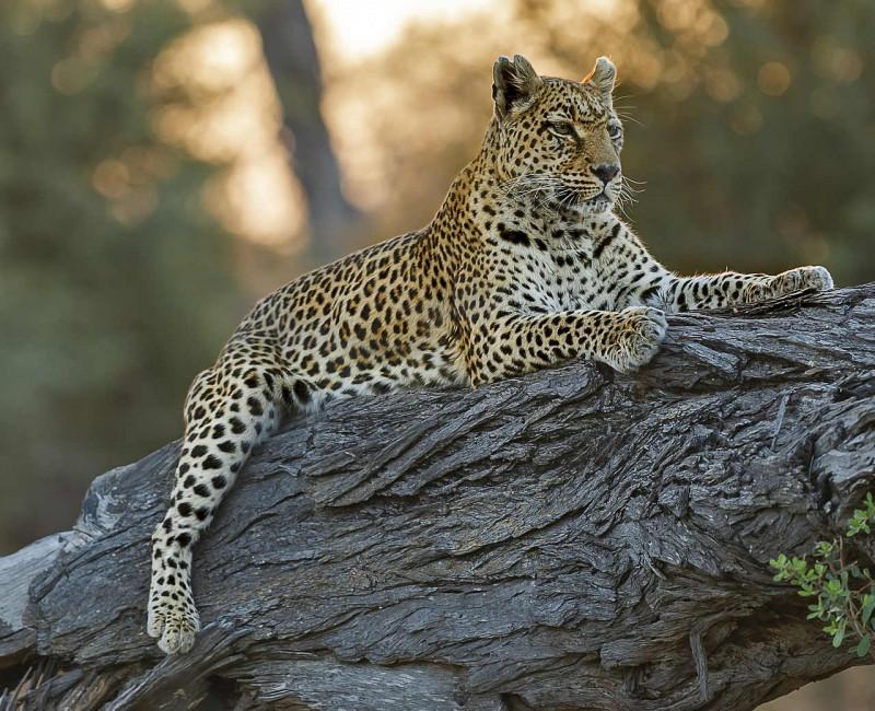 Majestätischer Leopard auf einem Felsen